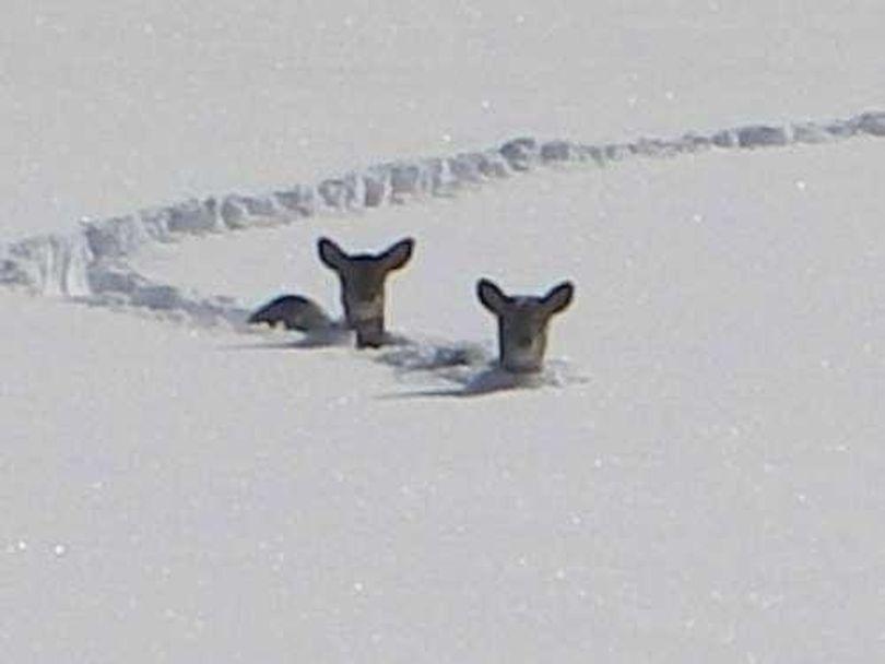Deer in deep snow. (Courtesy photo)