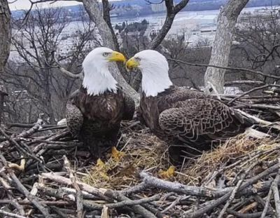This March 4, 2019, image from video provided by Earth Conservation Corps Eagle Cam, shows bald eagles Liberty and Justice on their nest in Washington, D.C. (Associated Press)