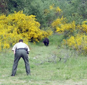 Washington Department of Fish and Wildlife Sgt. Ted Jackson crouches as a black bear, runs at him on Monday, June 6, 2011, near Port Orcahrd, Wash.   Fish and Wildlife officers and Washington State Patrol were trying to capture the bear. (Brynn Grimley / Kitsap Sun)