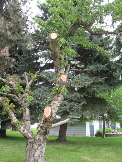 The first step in pruning is to determine how you want your tree to look. The photo shows branches that were cut with no consideration of the final shape of the tree. A tree will not recover its shape after a hard pruning like this. (Tim Kohlhauff / Courtesy)