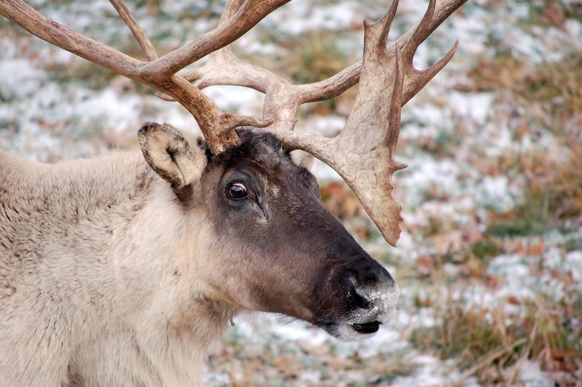 Two Rarely Seen Woodland Caribou Spotted In Montana The Spokesman Review