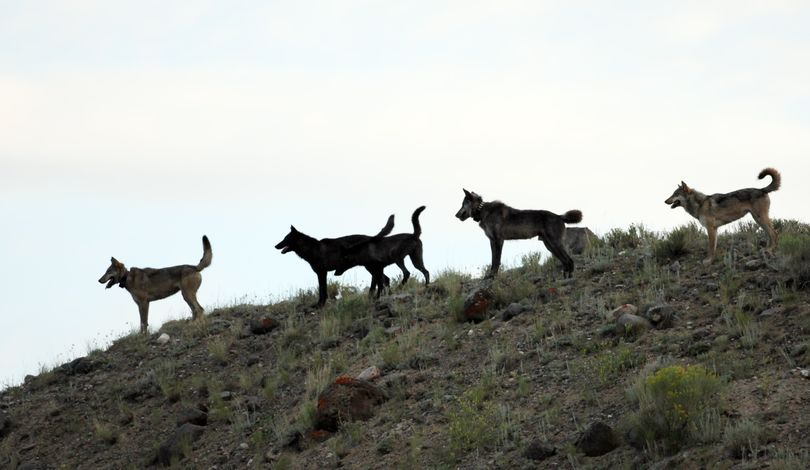 This photo provided by Wolves of the Rockies shows a wolf pack in Yellowstone National Park in 2012. The pack's alpha female was shot in Wyoming, among at least five collared wolves from Yellowstone killed by hunters that fall. Four more wolves collared in the park but no longer living there also had been shot. (Associated Press)