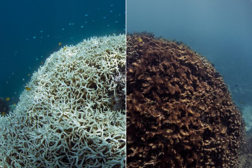 This photo shows before, March 2016, left, and after, May 2016, images of coral bleaching and death at Lizard Island on Australia's Great Barrier Reef. Scientists say the world's coral reefs are in peril.  (XL Catlin Seaview Survey via Associated Press)