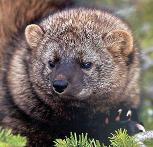The fisher, a larger cousin of the weasel, faces growing risks and remains an endangered species. (Associated Press)