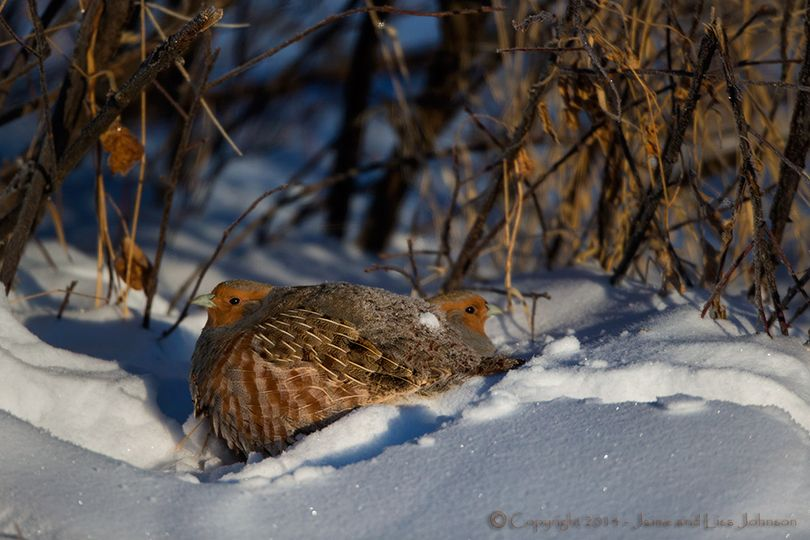 Hungarian partridge plump in in bitter-cold December temperatures in Montana. (Jaimie Johnson)