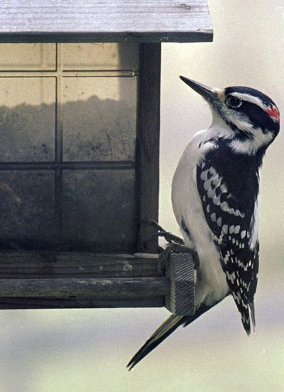 A scientific study being released in April 2017 found that Vermont forest birds declined by more than 14 percent over 25 years. Among those declining was the downy woodpecker. (Toby Talbot / Associated Press)
