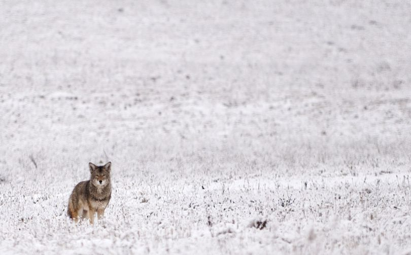 Roaming a snowy field: A coyote watches passing motorists on Thursday in a field near Airway Heights. (Tyler Tjomsland)