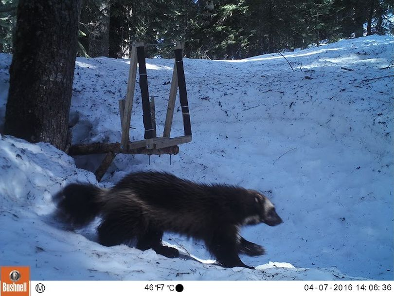 A wolverine is attracted to a research bait station in the Stevens Pass, Washington, area on April 7, 2016. (Conservation Northwest  / Citizen Wildlife Monitoring Project)