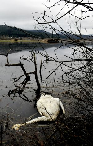 Tundra swans are exposed to toxic lead during migration stopovers in North Idaho. (Kathy Plonka)