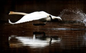 A trumpeter swan, likely the die-hard resident dubbed Solo, takes off across a pond at Turnbull National Wildlife Refuge last April. (File / The Spokesman-Review)
