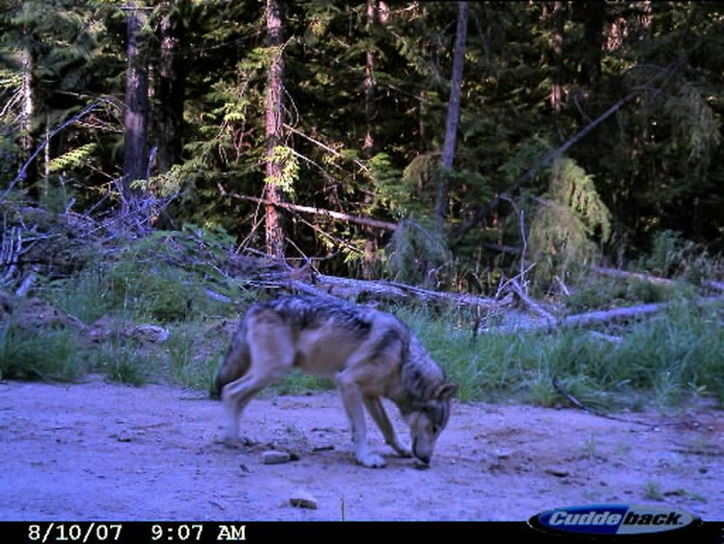 This gray wolf image was captured in 2007 by a remote sensor camera set up by state biologists in the LeClerc Creek drainage of Pend Oreille County two days after a cow elk triggered the camera shutter in the same spot. The photo helped document that wolves were moving into Washington. A breeding pack was documented in 2009. Photo courtesy of Washington Fish and Wildlife Department.