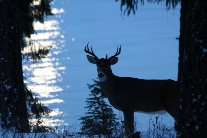 Priest Lake's resident blogger Pecky Cox used her every-ready camera to capture this whitetail buck against the moon beams reflecting off the water. The photo is posted on her