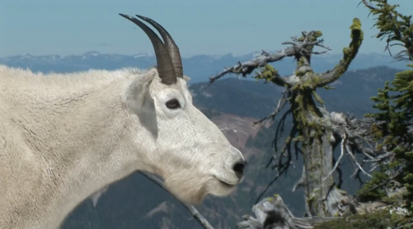Mountain goat on Scotchman Peak in North Idaho northeast of Lake Pend Oreille. (Bob Legasa)