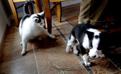 Sadie, Carl Gidlund's puppy, runs from Libby, his 7-year-old cat, at their home in Hayden. Sadie has brought out mothering instincts in Libby. She occasionally grooms the 3-month-old border collie with her tongue and paws. (Kathy Plonka / The Spokesman-Review)
