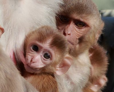 In a study of hundreds of milk samples, a Harvard University researcher found that nursing rhesus macaque monkeys, like those seen here, made different milk for daughters versus sons. (Associated Press)