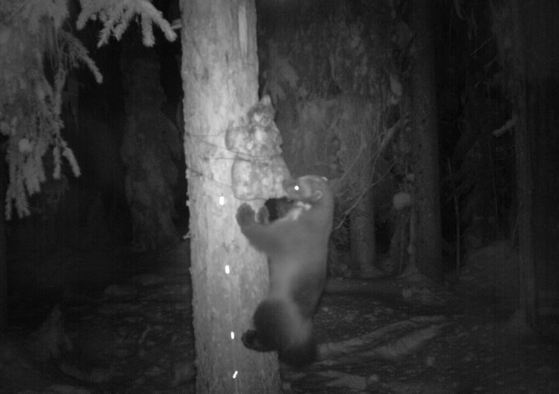 After checking their first round of rare forest carnivore monitoring stations in the first week of January 2012, Idaho Department of Fish and Game biologists discovered a wolverine had been caught on camera in the Selkirk Mountains of North Idaho.  The biologists have confirmed the wolverine visited the station twice.