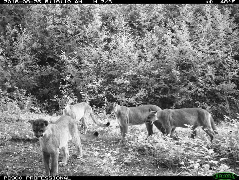 Four of five mountain lions photographed in a series of images in a remote camera put out in the Panhandle Region by the Idaho Department of Fish and Game. (Idaho Department of Fish and Game)