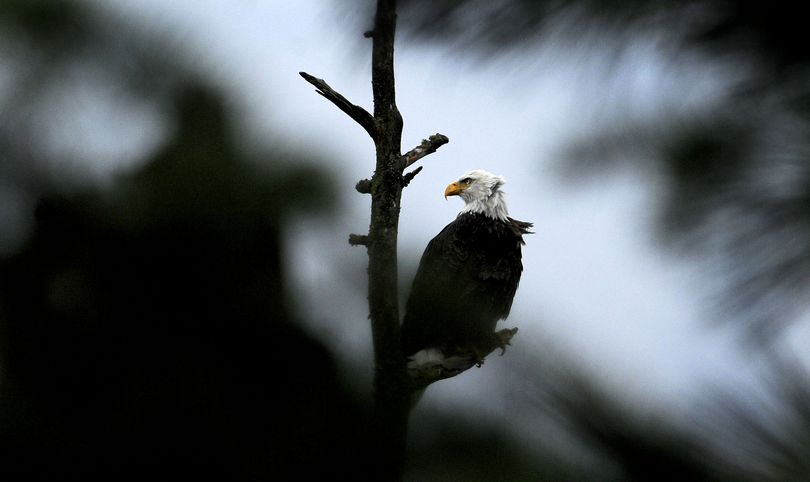 A bald eagle is perched on a branch at Higgens Point above Lake Coeur d'Alene on Thursday. Birdwatchers and photographers gather along the lake's eastern arm this time of year to watch the eagles. The birds migrate through the region on their way south each December. (Kathy Plonka)