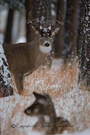 A whitetail buck has its eyes on a doe. (Jaime Johnson)