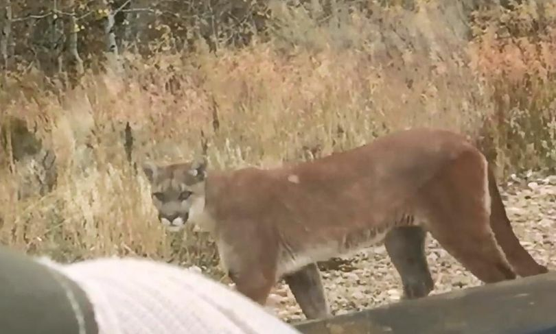 A mountain lion calmly walks past a pickup occupied by an Idaho Fish and Game conservation officer. (Idaho Department of Fish and Game)