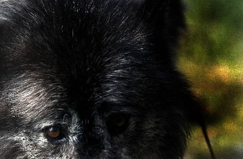 Gray wolves can range in color from white to black. (File)