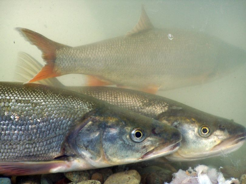 Northern pikeminnows are Columbia River natives. Dams gave them an unnatural advantage to prey on salmon and steelhead smolts.