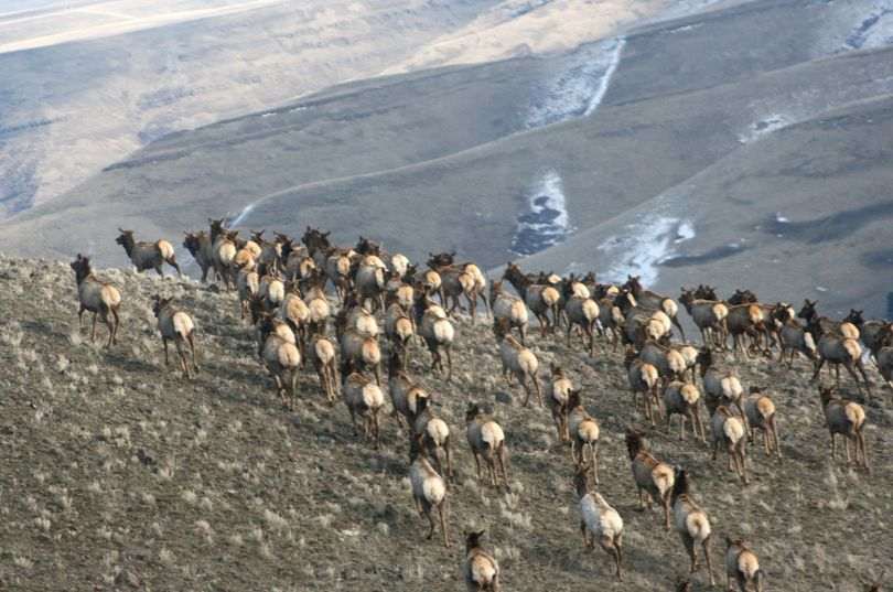 A herd of elk crosses a ridge in the Blue Mountains of Washington during an aerial survey by state wildlife biologists.