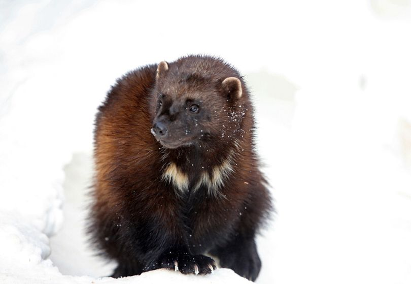 The wolverine, described as a 30-pound ball of muscle, teeth and attitude, requires vast wild areas to roam and survive. Researchers have been studying wolverines for years in Glacier National Park, one of the species' last strongholds in the U.S. (File)
