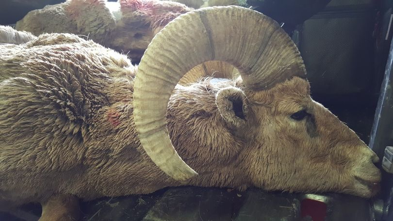 One of two bighorn rams Idaho Fish and Game euthanized to prevent potential disease spread after they came in close proximity to domestic sheep near Challis. (Idaho Department of Fish and Game)