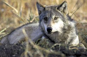 An Idaho Fish and Game Department proposal to kill wolves in the Lolo Pass area was opposed by a 2-1 ratio by state respondents.    (file Associated Press / The Spokesman-Review)