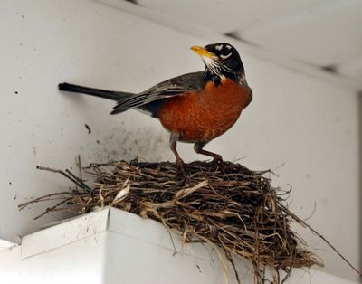 A robin guards a nest of four eggs over a home in East Akron, Ohio. McClatchy-Tribune (McClatchy-Tribune)