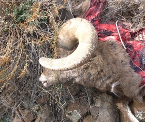 One of two bighorn rams killed by poachers in the Asotin Creek Wildlife Area over the weekend of Nov 15-16. (Washington Department of Fish and Wildlife)