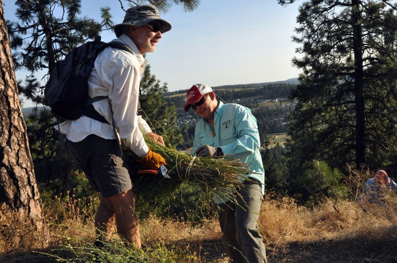 Lynn Smith, left, and Randy LaBeff bundle stalks of rush skeleton weed they cut along the South Hill Bluff trails off High Drive.  (Rich Landers)