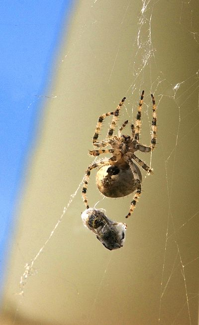After killing its prey, a large garden spider wraps up a yellow jacket in silk thread after it flew into the orb weaver's web hanging from a north Spokane garage.  (Colin Mulvany/The Spokesman-Review)