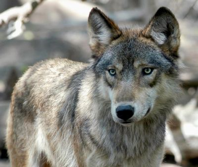 This July 16, 2004, file photo, shows a gray wolf at the Wildlife Science Center in Forest Lake, Minn. For the first time since 2013, licensed wolf hunting will take place in Wyoming. (Dawn Villella / Associated Press)