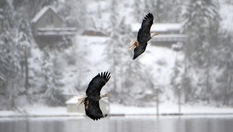 Two bald eagles soar over Lake Coeur d'Alene at Higgens Point in Coeur d'Alene on Monday, Dec. 28, 2015. (Kathy Plonka / The Spokesman-Review)