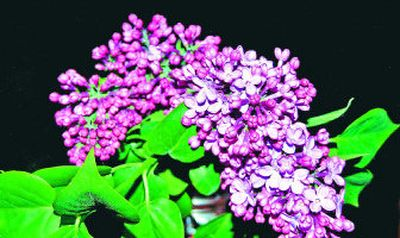 A lilac can be the perfect gift if the recipient has a garden with room for the plant to grow.  (sxc / The Spokesman-Review)