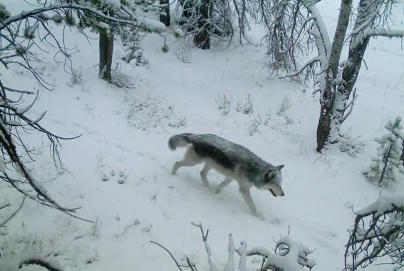 A gray wolf in Idaho is photographed during winter survey. (Idaho Department of Fish and Game)