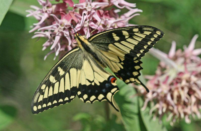 Old World swallowtail butterfly.  (John Baumann)
