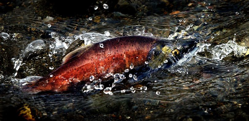 Kokanee are making a colorful splash in the region's waters.   (File / The Spokesman-Review)