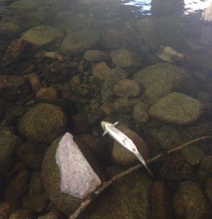 A dead German brown trout floats in the Spokane River near Harvard Road in July 2015. (Spokane Riverkeeper)