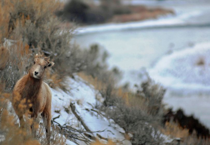 Montana's bighorn sheep plan has come under fire after a few attempts to establish new herds. (Associated Press)