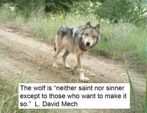 The recovery of the gray wolf is a political hot-potato. (Washington Department of Fish and Wildlife)