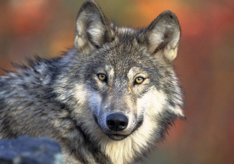 A gray wolf is shown in this 2008 photo provided by U.S. Fish and Wildlife. (Associated Press)