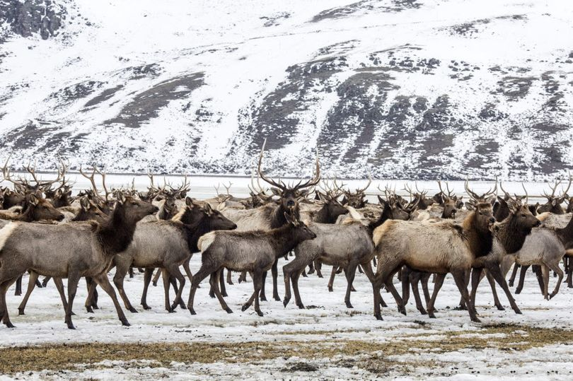 Elk make their way to the feed line on the National Elk Refuge north of Jackson, Wyoming. (Ryan Dorgan / Jackson Hole News & Guide via AP)
