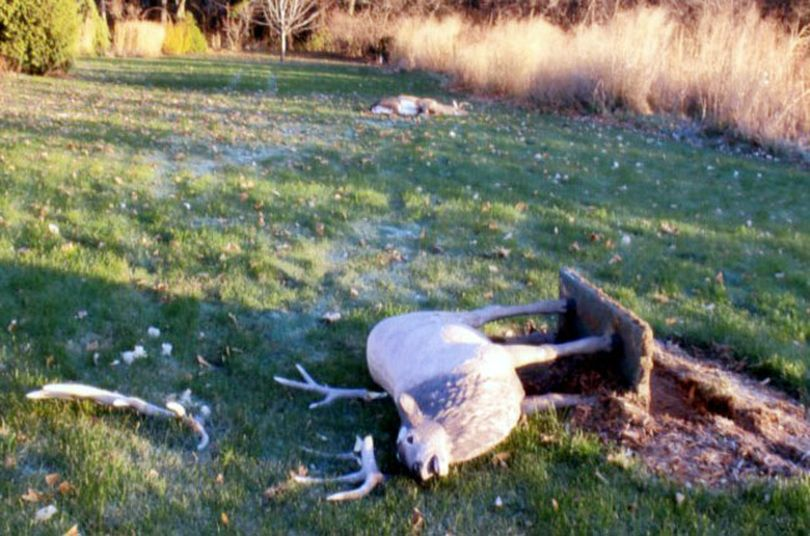 A whitetail buck fell dead in the background after battling a concrete lawn ornament in Wisconsin. (La Crosse Tribune)
