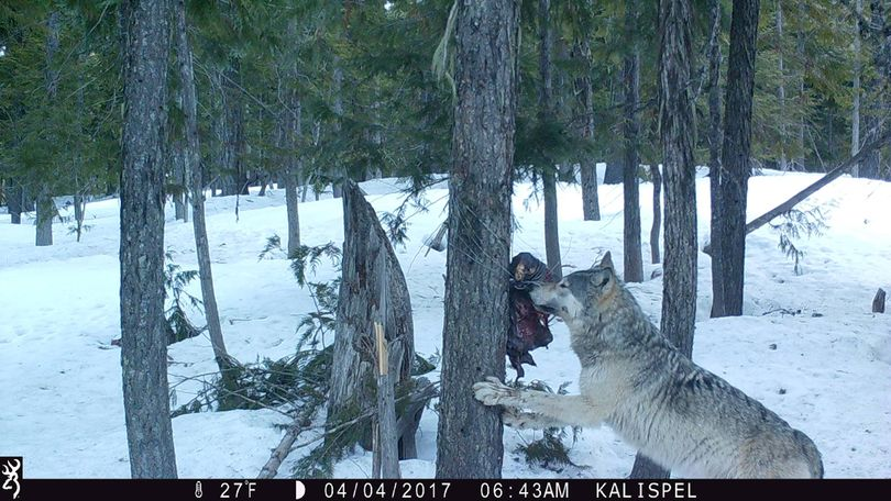 A gray wolf samples a wildlife researcher's bait station above the Priest Lake area in April. (Kalispel Tribe)