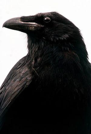 Raven. (The Spokesman-Review)
