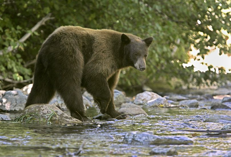 Black bears are exposing themselves to hunters. (Associated Press)