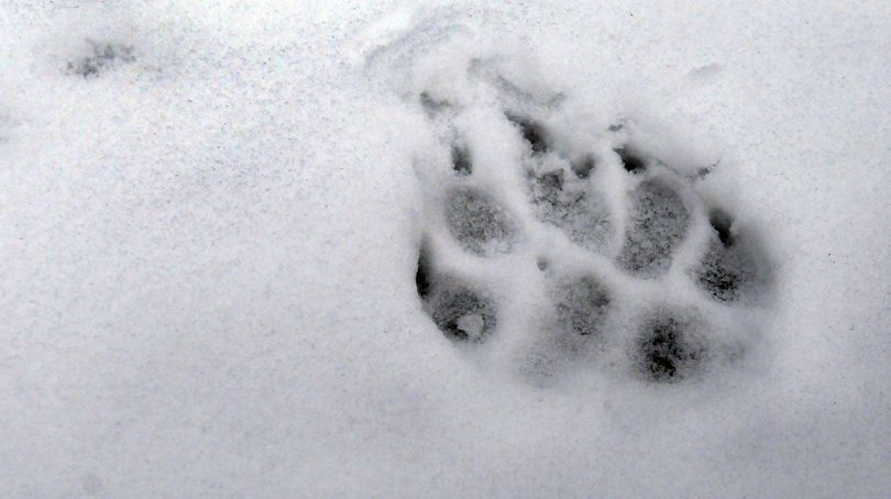 This track was left, apparently by a wolf, near the carcass of an elk in Avery, Idaho.
